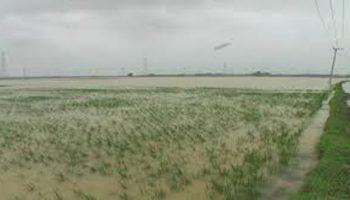 banjir rendam padi