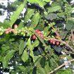 kopi hutan sokokembang