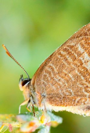 ilustrasi kupu-kupu matamu